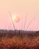 Pink sky above reeds, illustration