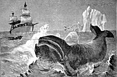 Whale hunting in the Arctic Ocean, 19th century illustration