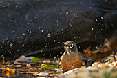 American robin having a bath