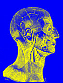 Superficial veins of the skull and face, illustration