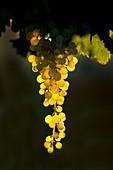 Translucent Merbein seedless grapes