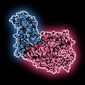 SARS-CoV-2 RBD complexed with ACE2, molecular model
