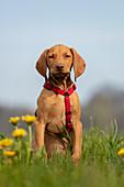Vizsla puppy sitting in a field