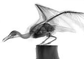 Speagull, X-ray
