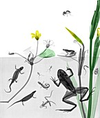 Aquatic animals and plants, X-ray