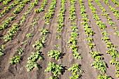 Potatoes growing in volcanic soil