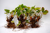 Bare rooted strawberry (Fragaria sp.) plants
