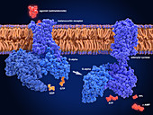 Setmelanotide anti-obesity drug, molecular mode