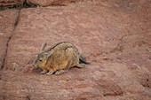 Southern viscacha, Siloli Desert, Bolivia