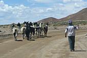 Bolivian farmer driving his herd of llamas