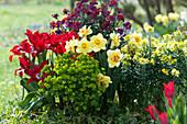 Frühlingsbeet mit Narzissen 'Tahiti', lilienblütigen Tulpen 'Pieter de Leur', Wolfsmilch und Lenzleuchten Rysi 'Moon Improved' und 'Winter Orchid'