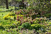 Frühlingsbeet mit Lenzrosen und Wolfsmilch