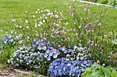 Frühlingsbeet mit Hornveilchen und Lichtnelken 'Petit Henry' 'Petit Jenny'