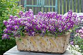 Duftsteinrich 'Princess in Purple' im getöpferten Keramikkasten