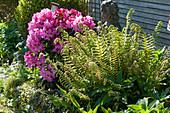 Rhododendron 'Anka Heinje' neben Straußfarn