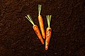 Ripe fresh Carrot on black ground background