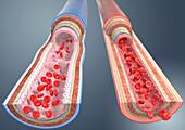 Artery and vein, illustration