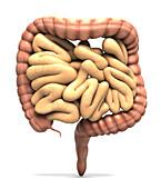 Human bowel, illustration