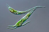Ankistrodesmus sp. green algae, light micrograph
