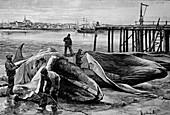 Slaughtering of whales, Norway, 19th century illustration