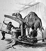 Grinding mill with a camel, Zanzibar, illustration