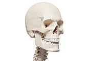 Skull and cervical spine, illustration