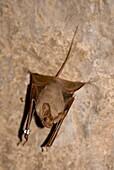 Hardwick's mouse-tailed bat