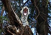 Leopard roaring