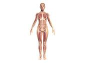 Muscular system, illustration