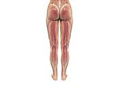 Female leg musculature, illustration