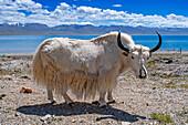 White yak, Tibet, China