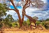 Masai giraffe, Tsavo National Park, Kenya