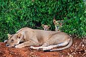 Female lion with cubs, Tsavo National Park, Kenya