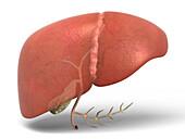 Human liver and gallbladder, illustration