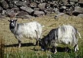 Feral goats, Snowdonia National Park, UK