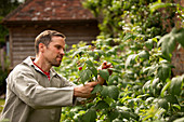Man inspecting raspberry plant in backyard garden