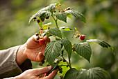 Hands inspecting raspberry plant in garden
