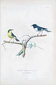 Black-throated blue warblers, illustration
