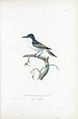 Eastern kingbird, illustration