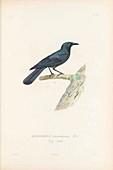 Cuban blackbird, illustration