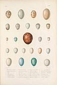 Eggs of bird species from Cuba, illustration