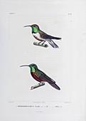South American hummingbirds, 19th century illustration
