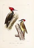Woodpeckers, 19th century illustration