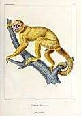 Capuchin monkey, illustration