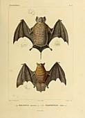 Fruit bat, illustration