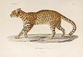 Geoffroy's wild cat, illustration