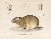 Southern mountain cavy, illustration