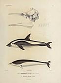 Dolphins, illustration