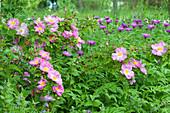 Strauchrose 'Marguerite Hilling' mit Flockenblume