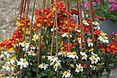 Bepflanzter Korbmit Zweizahn 'Bee White' 'Mini Bee' und Elfenspiegel Sunsatia Plus 'Blood Orange'